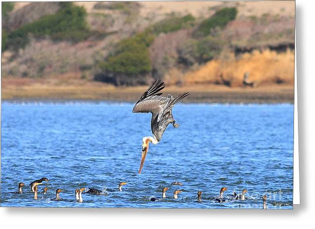 Brown Pelican Diving Greeting Card by Wingsdomain Art and Photography