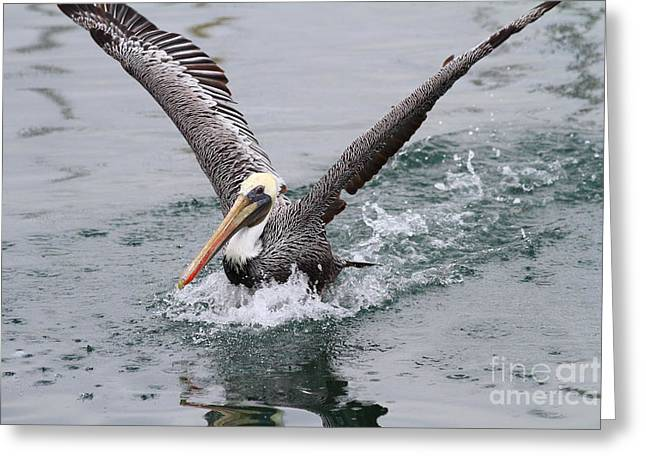Brown Pelican Landing On Water . 7d8372 Greeting Card by Wingsdomain Art and Photography