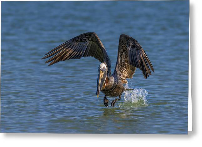 Brown Pelican Taking Off Greeting Card by Susan Candelario