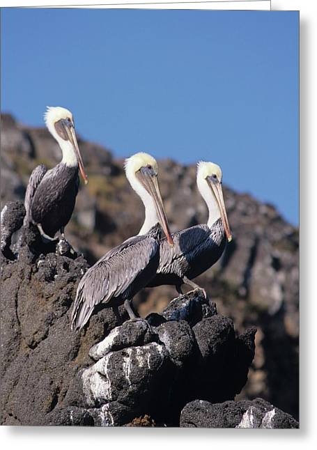 Brown Pelican Trio  Greeting Card by Don Kreuter