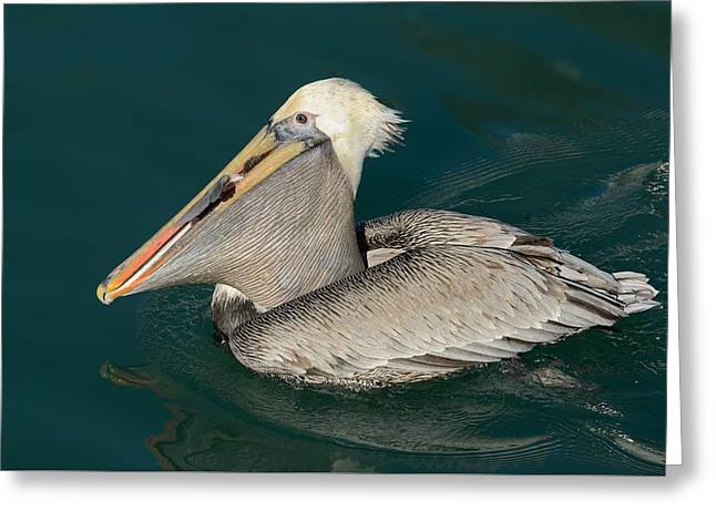 Greeting Card featuring the photograph Brown Pelican With A Mouth Full by Bradford Martin