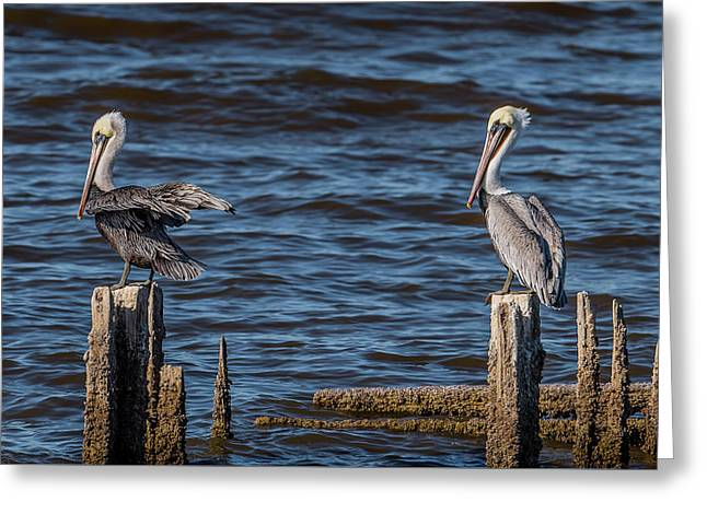 Brown Pelicans Perched Greeting Card by Morris Finkelstein