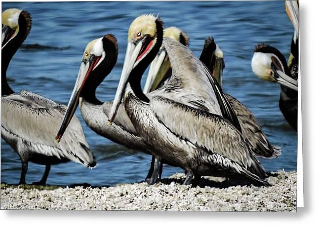 Brown Pelicans Preening Greeting Card