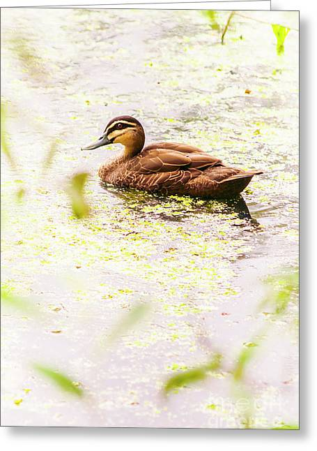 Brown Pond Duck Greeting Card