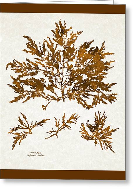 Brown Seaweed Marine Art Chylocladia Clavellosa Greeting Card