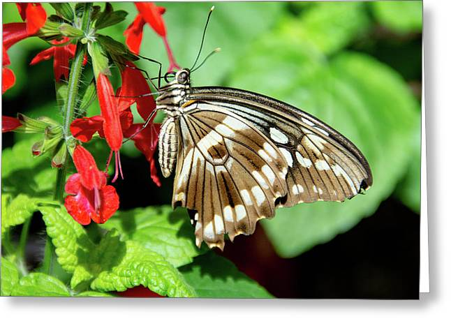 Brown Swallowtail Butterfly Greeting Card