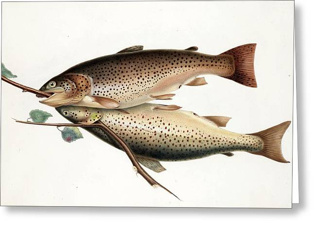 Brown Trout Greeting Card by William Jardine