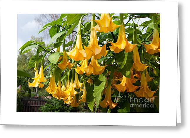 Brugmansia Named Angels Trumpets Or Datura  Greeting Card