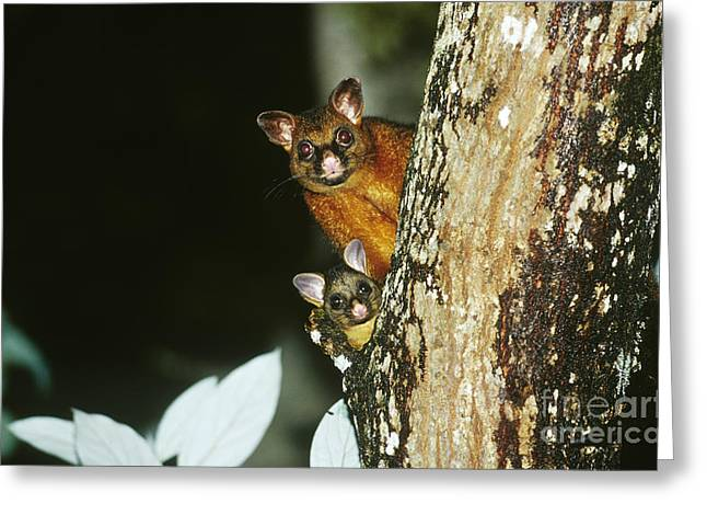 Brush-tailed Possum With Young Greeting Card by B. G. Thomson