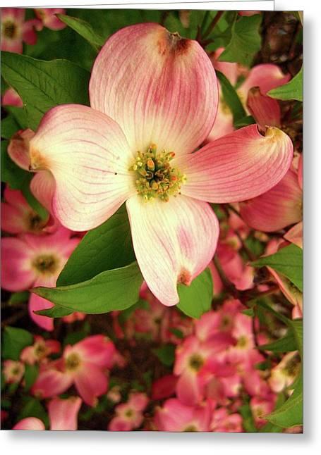 Bryn Mawr Greeting Cards - Bryn Mawr Blossom Greeting Card by Don Struke