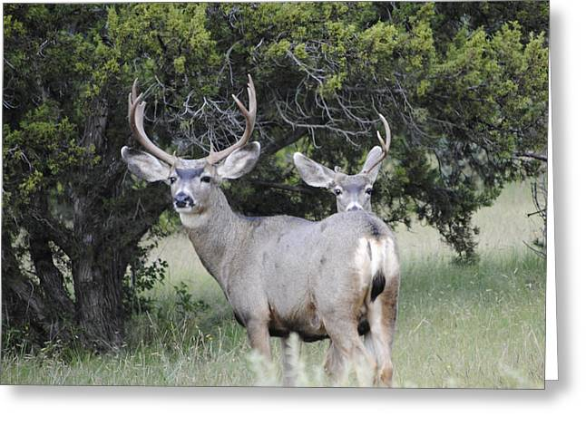 Buck And A Half Greeting Card by Jon Rossiter