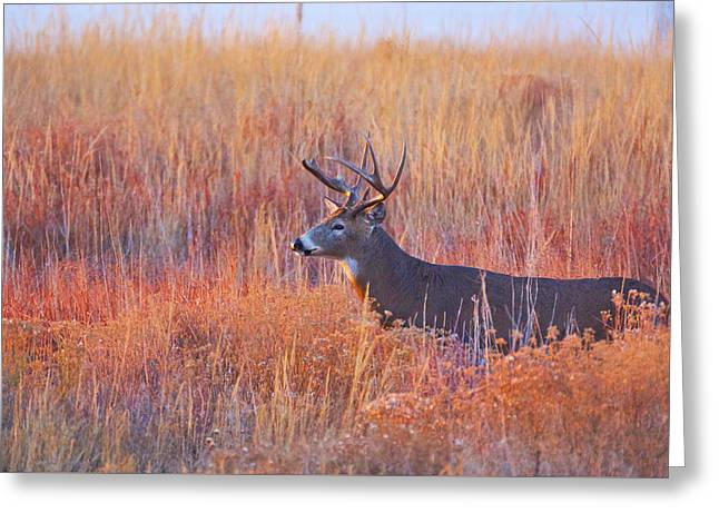 Buck Deer In Morning Sunlight Greeting Card