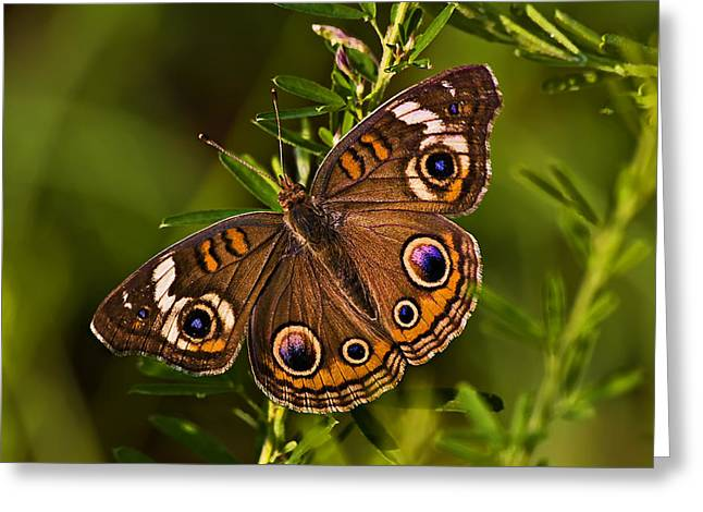 Buckeye Butterfly Greeting Card by Michael Whitaker