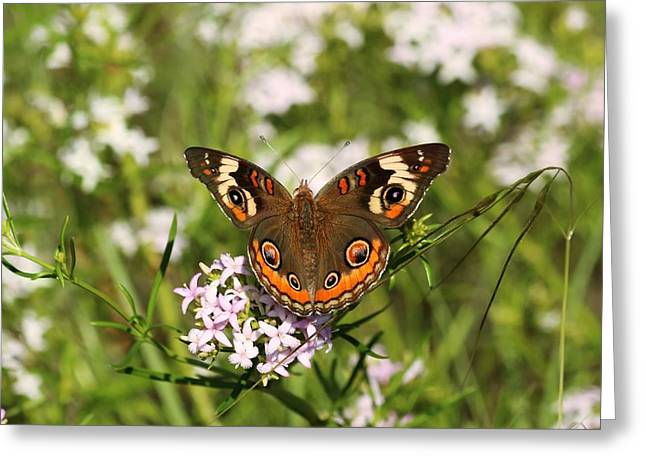 Buckeye Butterfly Posing Greeting Card
