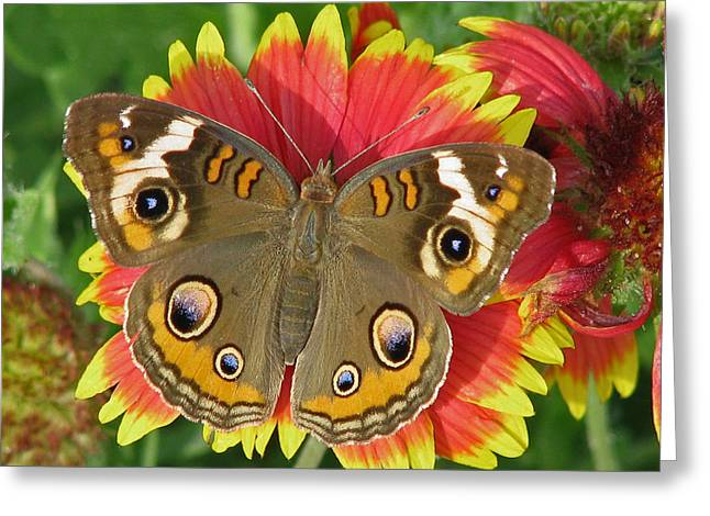 Buckeye On Blanketflower Greeting Card by Peg Urban