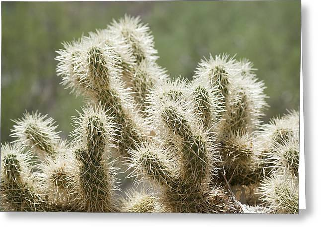 Buckhorn Cholla Greeting Card by Kelley King
