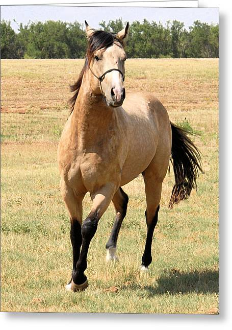 Buckskin Stallion From Front Greeting Card