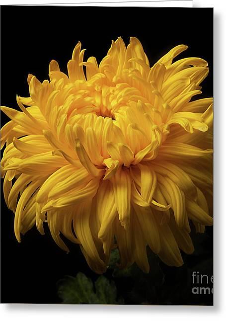 Bud Opening-chrysanthemum 'allison Peace Greeting Card