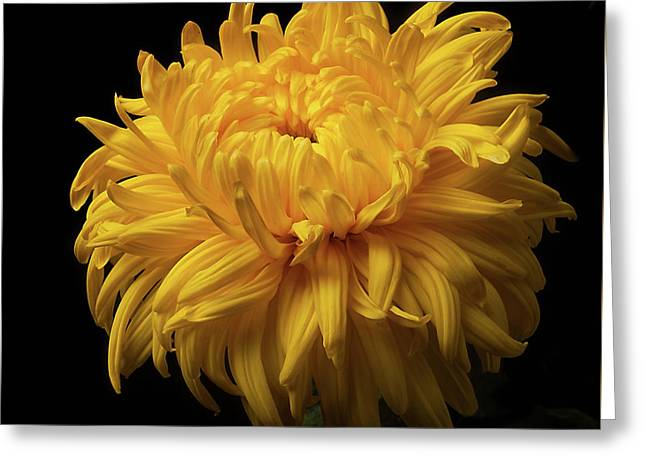 Bud Opening-chrysanthemum 'allison Peace Greeting Card