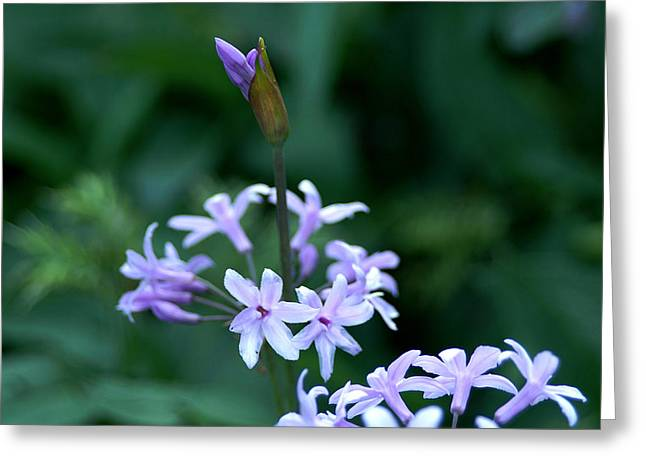 Dance Of Joy Greeting Cards - Budding flower Greeting Card by Michael Roll