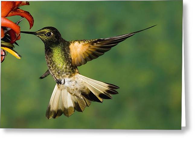 Hovering Greeting Cards - Buff-tailed Coronet Boissonneaua Greeting Card by Tom Vezo