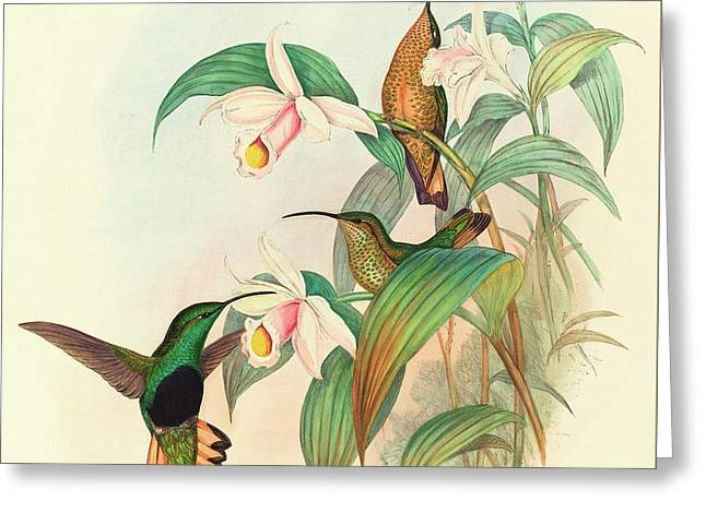 Buff Tailed Velvet Breast Greeting Card by John Gould
