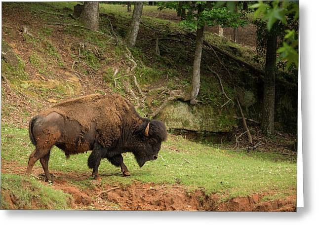Buffalo Walking Along Streambed Greeting Card by Georgia Evans