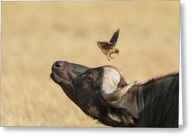 Buffalo And Oxpecker Bird Greeting Card