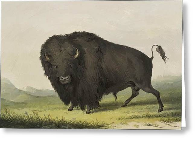 Buffalo Bull Grazing 1845 Greeting Card