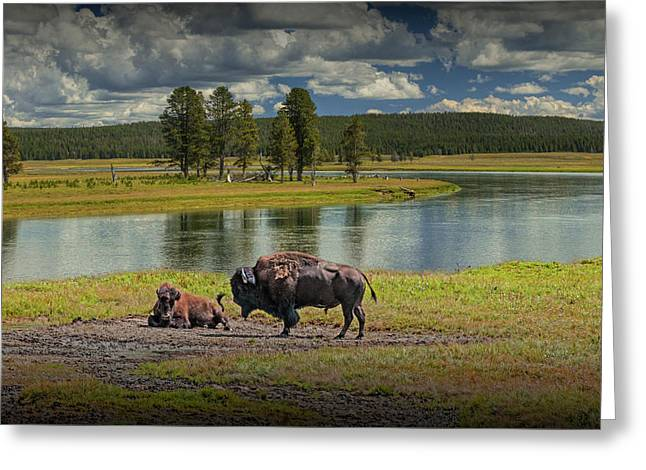 Buffalo By Yellowstone River Greeting Card by Randall Nyhof