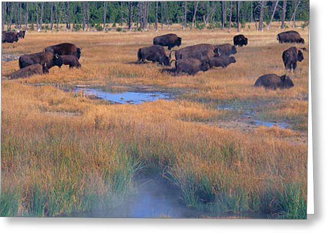 Buffalo Grazing, Yellowstone National Greeting Card by Panoramic Images