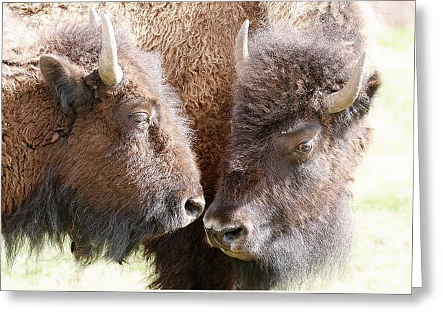Buffalo Heads Greeting Card by Athena Mckinzie