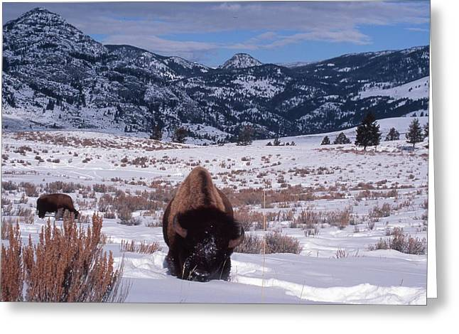 Best Sellers -  - Grazing Snow Greeting Cards - Buffalo in the Rockies Greeting Card by Edward R Wisell