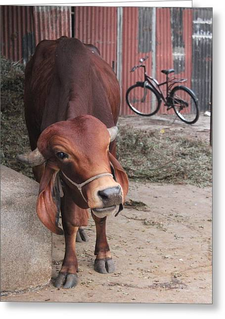 Bull And Bicycle At Sri Vivek's Goshala, Satara Greeting Card by Jennifer Mazzucco