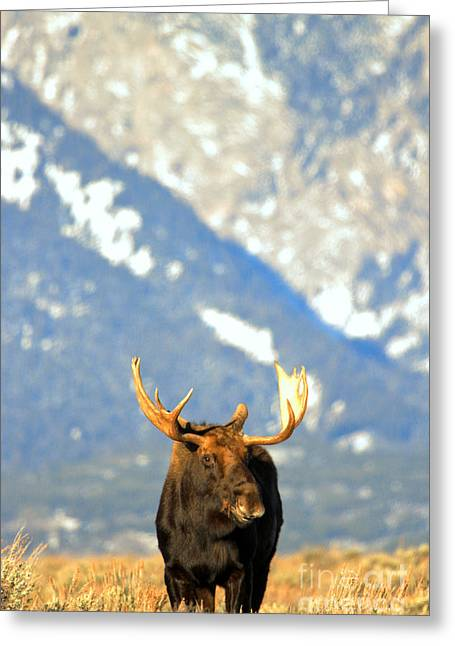 Bull At The Base Of The Tetons Greeting Card by Adam Jewell