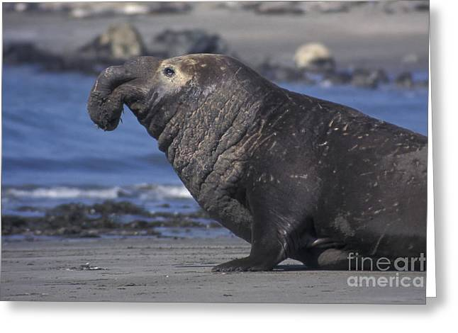 Bull Elephant Seal Greeting Card by Stan and Anne Foster