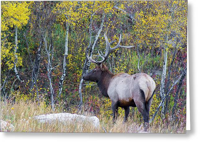 Greeting Card featuring the photograph Bull Elk by Aaron Spong
