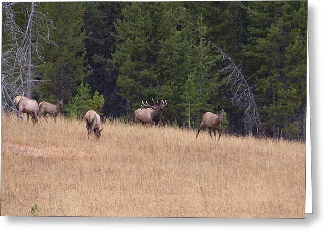 Bull Elk Bugling At Yellowstone Greeting Card