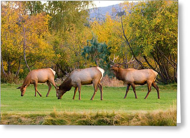 Bull Elk  Bugling With Cow Elks - Rutting Season Greeting Card by James BO  Insogna