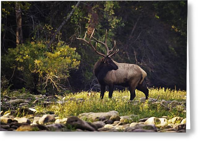 Bull Elk Checking For Competition Greeting Card