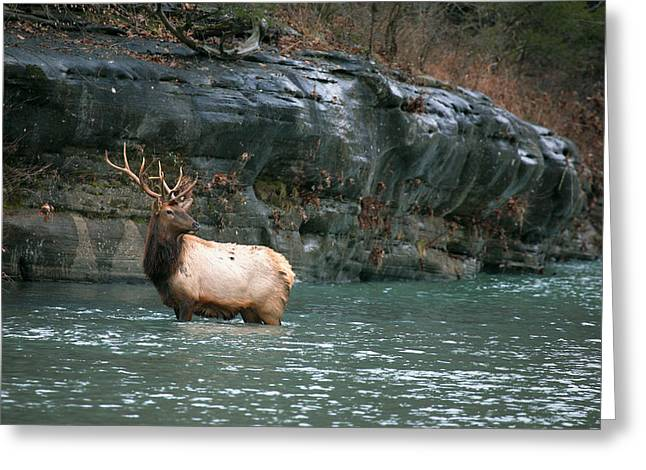 Greeting Card featuring the photograph Bull Elk Crossing The Buffalo River by Michael Dougherty
