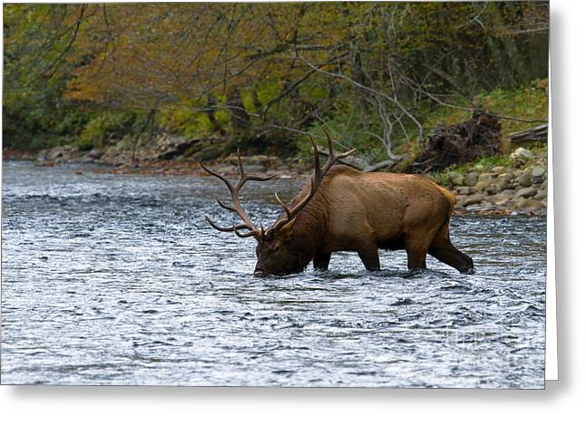 Bull Elk Crossing The River Greeting Card