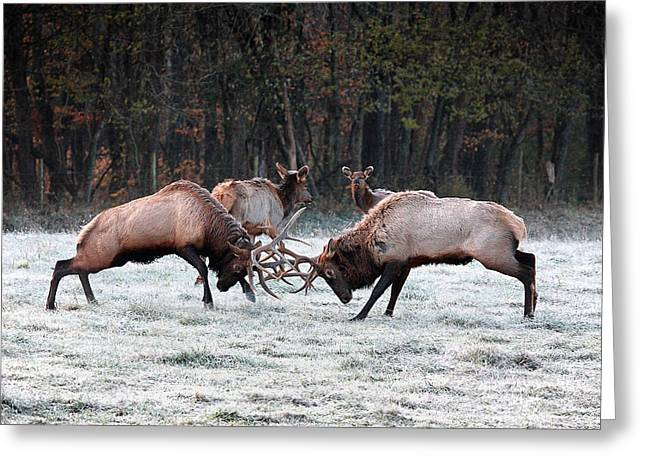 Boxley Valley Greeting Cards - Bull Elk Fighting in Boxley Valley Greeting Card by Michael Dougherty