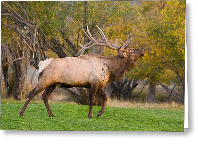 Bull Elk In Rutting Season Greeting Card by James BO  Insogna