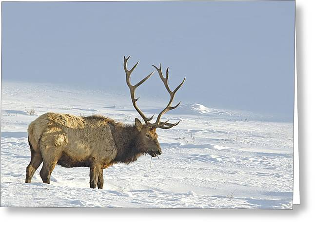 Bull Elk In Snow Greeting Card
