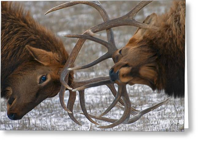 Bull Elk In The Rut-signed Greeting Card
