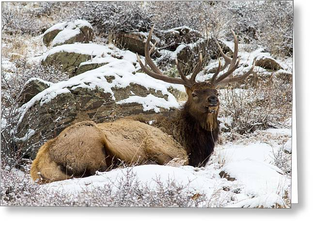 Bull Elk Lounging Greeting Card by Scott Nelson