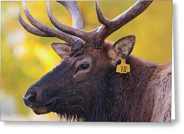 Bull Elk Number 10 Greeting Card