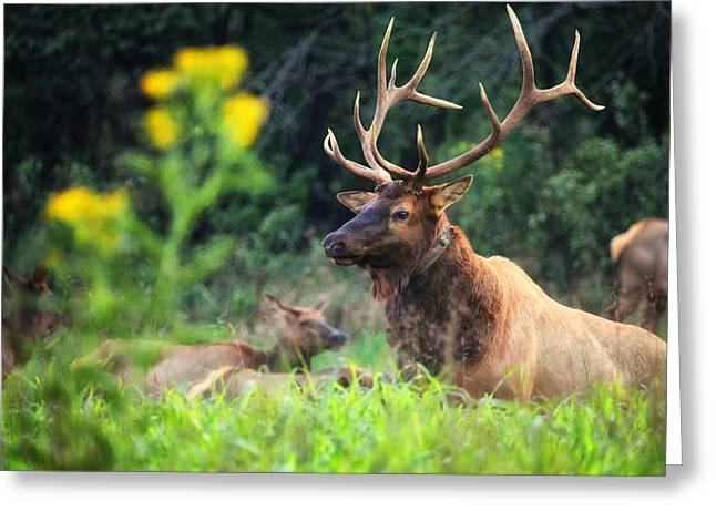 Greeting Card featuring the photograph Bull Elk Rutting In Boxley Valley by Michael Dougherty