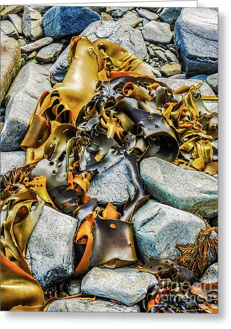 Bull Kelp On Blue Rocks Greeting Card by Lexa Harpell